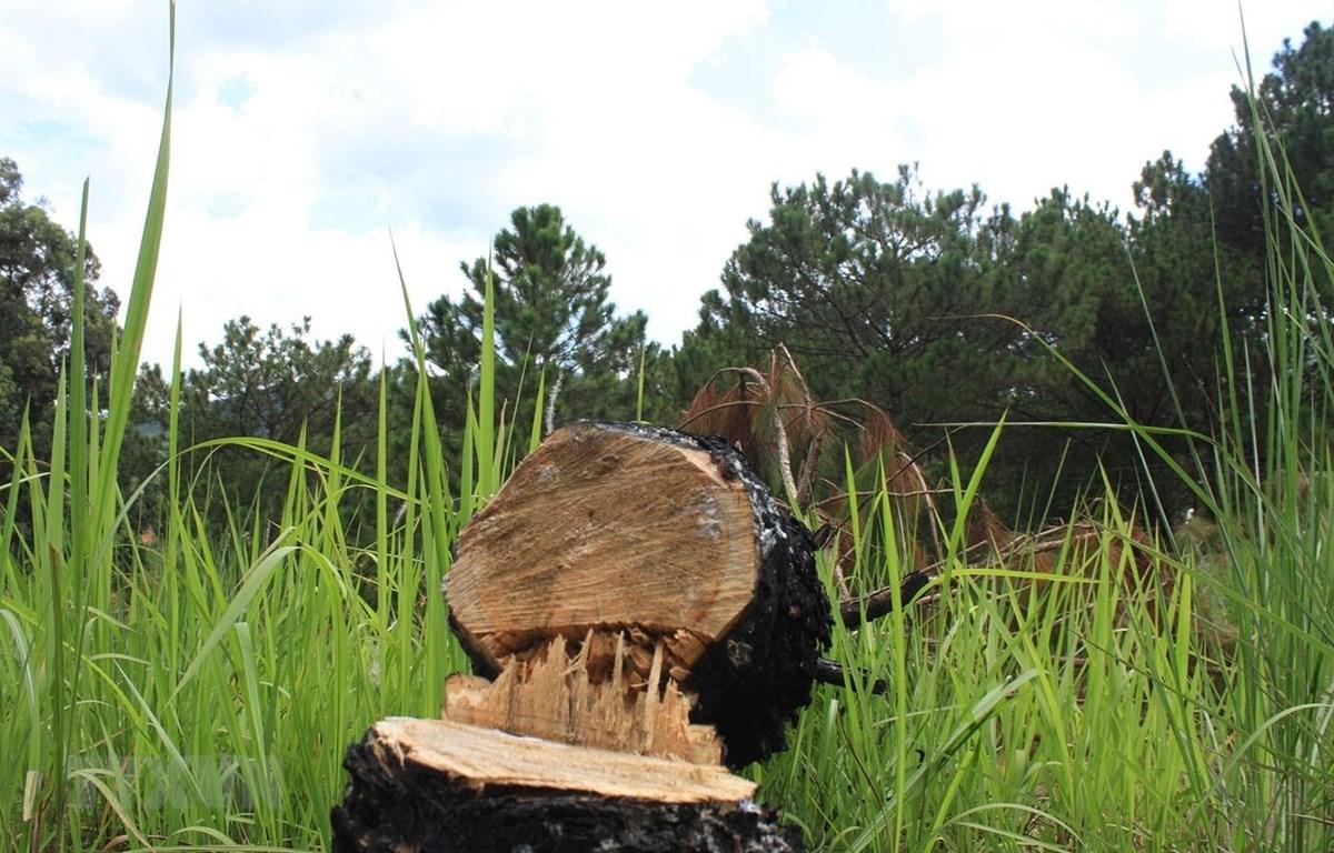 Nhiều cây thông ba lá đã bị cưa hạ tại tiểu khu 157, thuộc đối tượng rừng nội ô Đà Lạt. (Ảnh: Đặng Tuấn/TTXVN)