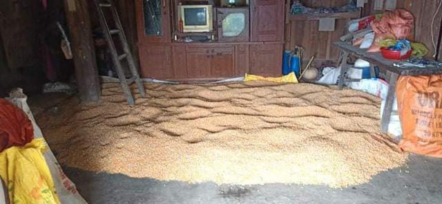 Ngô nhà em Tẩn Láo Tả đang phơi chưa khô.