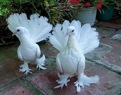 Đại gia giấu mặt bỏ gần 2 triệu USD mua 1 chú chim bồ câu, lý do thực sự mới gây sốc 4