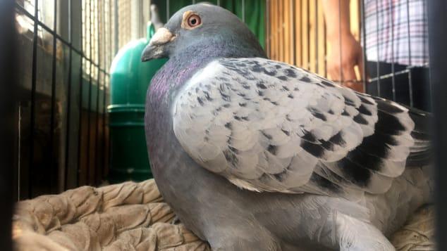 Đại gia giấu mặt bỏ gần 2 triệu USD mua 1 chú chim bồ câu, lý do thực sự mới gây sốc 3