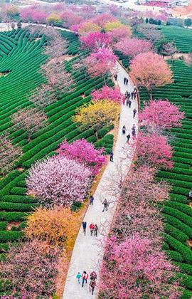 Trung Quốc mùa hoa anh đào đẹp ngỡ như tiên cảnh