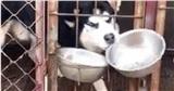 Chú chó Husky bị tách chuồng rồi vẫn có hành động giành ăn trắng trợn, chiêu trò tinh vi dân mạng lắc đầu: Đúng là vừa ngáo vừa láo!