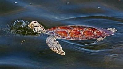 Tìm ra nguyên nhân khiến gần 300 con rùa biển chết hàng loạt tại bờ biển Florida