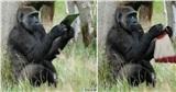 Nhân viên sở thú bỏ quên cuộn len và kim chỉ trong chuồng khỉ đột, khi quay lại đã thấy con vật đan len khéo léo, khoảnh khắc khiến 'cõi mạng' dậy sóng