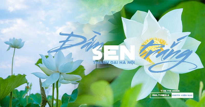 Chùm ảnh: Đầm hoa sen trắng mở cửa miễn phí ở Hà Nội, chỉ cần đừng vặt lá hái hoa