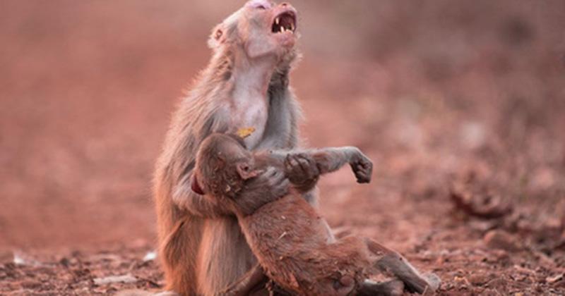 Khỉ mẹ ôm con đã chết trong tay gào thét thảm thiết khiến ai cũng rơi lệ nhưng câu chuyện thực lại chẳng bi đát đến vậy