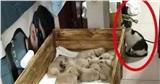Để mèo cưng cùng lũ cún con ở nhà, chủ nhân dắt chó mẹ đi dạo, khi trở về nhìn thấy cảnh tượng 'dở khóc dở cười' của các con vật