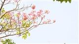 Sài Gòn tháng 4 rực rỡ với mùa hoa loa kèn