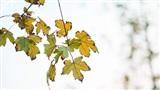 Ở Hà Nội vẫn có thể ngắm lá phong chuyển vàng, đẹp lãng đãng như trong phim Hàn Quốc