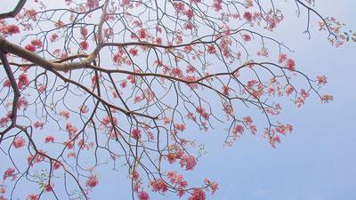 Giữa tháng 3, Sài Gòn có mùa hoa kèn hồng khiến lòng người xao xuyến