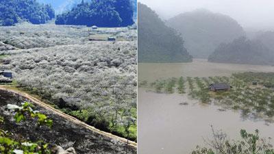 Thung lũng mận Nà Ka - 'thiên đường hoa trắng' ở Mộc Châu chìm trong nước lũ khiến dân mạng nghẹn ngào