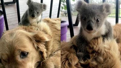 'Đi một về hai', chó Golden khiến chủ nhân cảm động vì cứu sống gấu Koala lạc mẹ khỏi chết rét