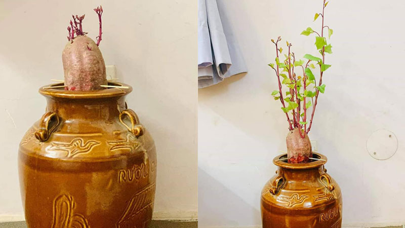 Anh chàng khoe chậu 'khoai lang bonsai tự chế' đẹp xuất sắc trang trí nhà, dân mạng thích thú nhưng tiu nghỉu khi kéo đến ảnh cuối