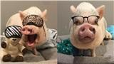 Chú lợn tí hon thu hút nửa triệu follow qua đời vì biến chứng phẫu thuật