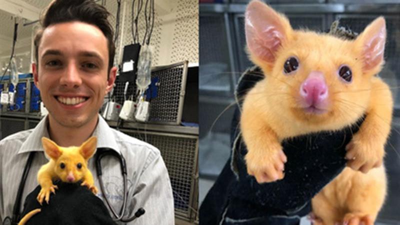 Phòng khám Úc giải cứu thành công 'Pikachu đời thực'