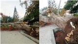 Thêm 1 cây phượng bất ngờ bật gốc, đổ gục trong sân trường