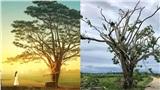 Hình ảnh 'cây cô đơn' trong phim 'Mắt biếc' trơ trụi lá sau cơn bão lớn