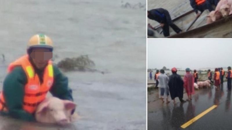Xót xa hình ảnh gia súc bị lũ cuốn trôi ở Quảng Trị: Cả năm làm lụng vất vả có nguy cơ mất trắng