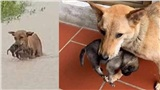 Chó mẹ tha con chạy lũ nổi tiếng khắp mạng xã hội đã được cứu, dân mạng vẫn rơi nước mắt vì lý do này