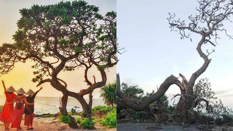 Cây cô đơn trên đảo Lý Sơn - biểu tượng của sức sống mãnh liệt bị bão số 9 quật gãy
