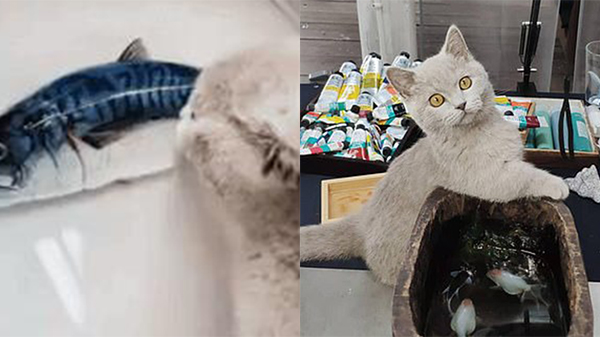 Anh chàng đăng clip mèo cưng tham ăn 'vồ lấy vồ để' cá tươi trên đĩa, sự thật phía sau khiến dân mạng vừa thương vừa buồn cười