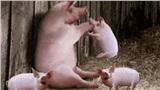 8 lý do khẳng định lợn là loài vật siêu hay tuyệt vời chứ nào có bẩn thỉu dốt nát