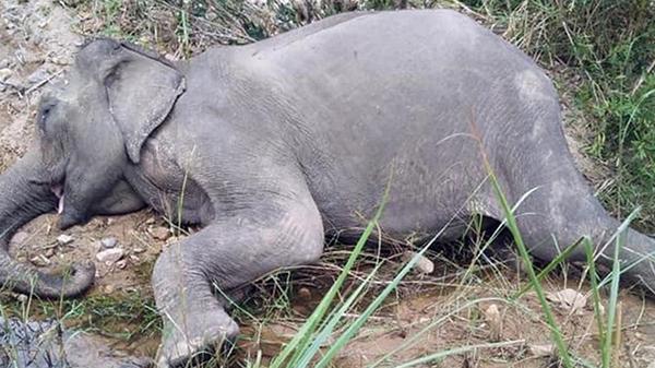 Chú voi cuối cùng ở Bắc Tây Nguyên đã qua đời bên bờ suối, hưởng thọ 50 tuổi
