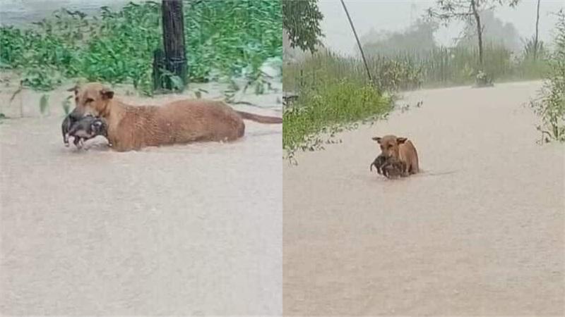 Rơi nước mắt hình ảnh chó mẹ tha con giữa dòng lũ, hàng loạt động vật rưng rưng như kêu cứu, dân mạng: 'Người cứu còn không xuể, biết làm sao đây?'