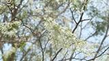 Giữa lòng Hà Nội bộn bề, ta bắt gặp một mùa hoa sưa tinh khôi như thế