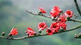 Tháng ba, nao lòng mùa hoa gạo