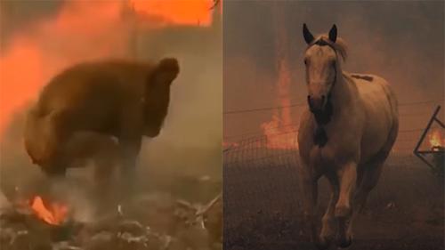 Cháy rừng tại Australia: Xót xa cảnh các loài động vật oằn mình trong bão lửa
