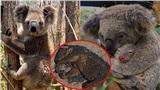 Vì sao gấu koala không thể thoát thân trong thảm họa cháy rừng?