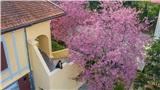 Lên Đà Lạt mà xem, hoa mai anh đào đã nở hồng rực cả con phố rồi này!