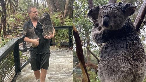 Hết cháy rừng, gấu Koala ở Australia lại đang bị đe dọa bởi lũ lụt