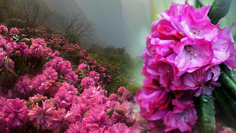 Hoa đỗ quyên trên đỉnh Putaleng vào mùa, dân mê trekking phấn khích rủ nhau đi thưởng ngoạn