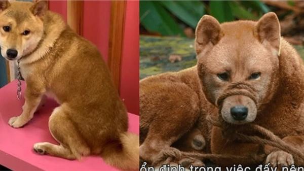 Bất ngờ về chú chó Shiba trong phim 'Cậu Vàng': Từ một chú chó bị tự kỷ, hay cắn đến một 'diễn viên 4 chân duy nhất trên màn ảnh Việt' được mọi người yêu thương