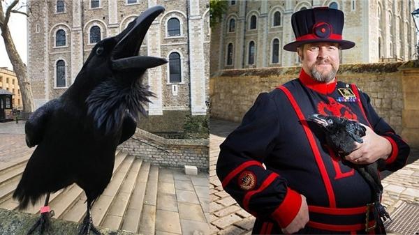 Quạ 'nữ hoàng' nổi tiếng trên Tháp London biến mất bí ẩn