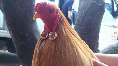 Phát ghen với chị gà 'quý tộc' đeo toòng teng hai tai hai chỉ, trẻ xinh nhất Vịnh Bắc Bộ