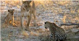 Đối mặt với 2 mẹ con sư tử cái, báo đốm xác định số phận sẽ bị xơi tái nhưng hành động tiếp theo của đối phương khiến ai cũng ngỡ ngàng