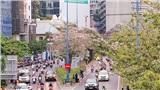 Chẳng kém Đà Lạt, hoa kèn hồng đang khoe sắc rực rỡ đẹp nao lòng trên đường phố Sài Gòn