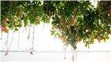 Rực rỡ mùa hoa lộc vừng tháng 6 nhuộm đỏ khắp phố phường Hà Nội