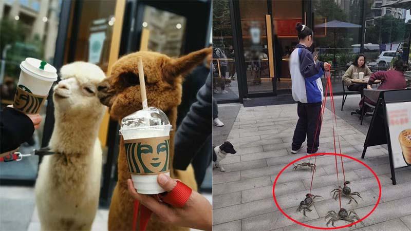 Cửa hàng cafe tặng 1 ly miễn phí cho khách dẫn theo thú cưng, cô gái mang theo hẳn 4 con cua biển đến nhận quà