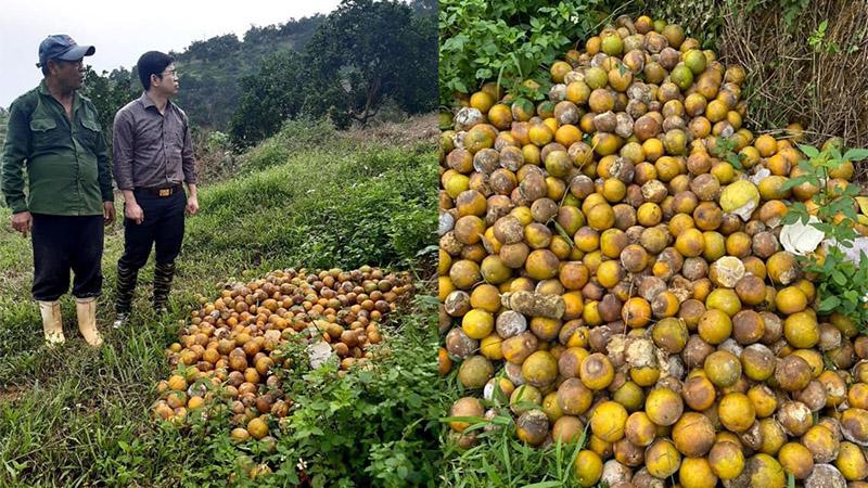 Xót xa nhìn hàng chục tấn cam rụng tả tơi, thối đầy vườn sau mưa lũ ở Nghệ An