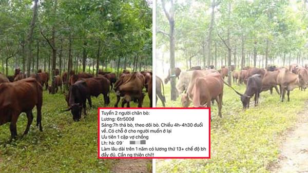 Việc nhẹ lương cao: Tuyển người chăn bò lương 6,5 triệu, có chế độ bảo hiểm và lương thưởng tháng 13