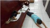 Chú chó vừa 'tịnh thân' nằm bẹp trên ghế tưởng 'băng hà' đến nơi khiến 'con Sen' khóc hết nước mắt