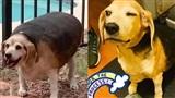 Chú chó núc ních như hột mít khổng lồ lột xác ngoạn mục, giảm hơn 20kgsau 1 năm kiên trì tập thể dục