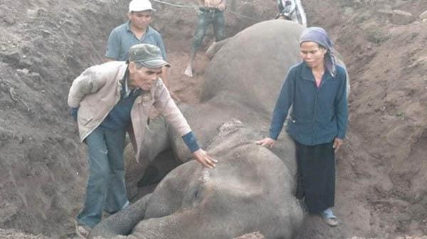 Người dân Gia Lai tổ chức mai táng chú voi thọ 50 tuổi cuối cùng ở Bắc Tây Nguyên