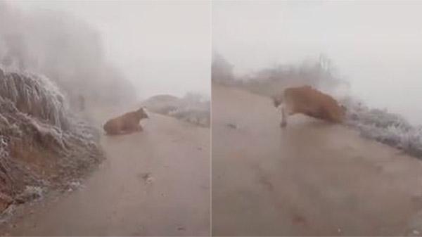 Clip: Chú bò liên tục ngã khuỵu trên đường trơn trượt do băng tuyết khiến người xem xót xa