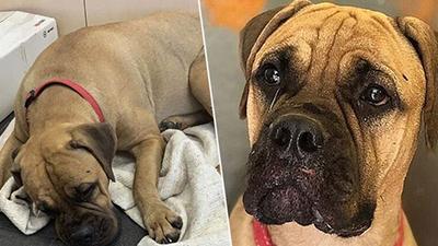 Bị chủ bỏ rơi, chú chó vẫn vượt hơn 200km tìm đường về nhà trong nước mắt