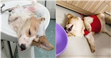 Chú chó Corgi nổi tiếng nhất mạng xã hội Việt vì tài ngủ 23 tiếng/ ngày, chỗ nào cũng bất chấp lăn ra ngáy